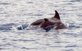 Cucciolo-delfino-con-mamma-nel-Golfo-di-Taranto